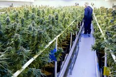 Marijuana Start-Ups See an Industry on the Cusp of a Breakthrough As marijuana laws are being loosened across the country start-ups are using technology to transform what has traditionally been a face-to-face market. Technology Medical Marijuana Marijuana