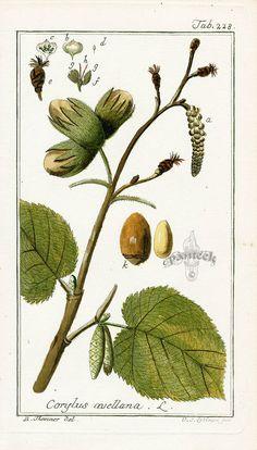 "Hazel - (Corylus avellana) - ""reconciliation"""