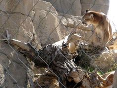Carls+bad+New+Mexico+zoo | Mountain lion, Living Desert Zoo and Gardens, Carlsbad, NM | Flickr ...