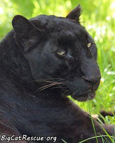 """Jumanji Leopard - G'nite Everyone"""