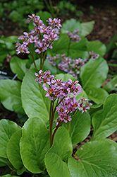 Find Purpleleaf Bergenia (Bergenia Purpurascens) In Lake Bluff Forest  Libertyville Waukegan Mundelein Illinois IL At Pasquesi Home U0026 Gardens