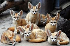 Fennec Fox Available for sale new york, town of union. Fennec Fox Available for sale. Fennec Fox, Tier Wallpaper, Animal Wallpaper, Cute Baby Animals, Animals And Pets, National Geographic Animals, Fox Images, Images Photos, Foxes Photography