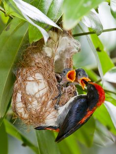 Scarlet-backed Flowerpecker, Pasir Ris Park, photo by Chong Lip Mun Pretty Birds, Love Birds, Beautiful Birds, Small Birds, Exotic Birds, Colorful Birds, Photo Animaliere, Wild Birds, Bird Watching