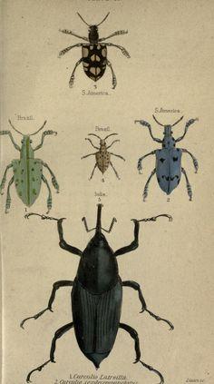 v. 33: Entomology v. 6 (Beetles; Memoir Ray) - The naturalist's library. - Biodiversity Heritage Library