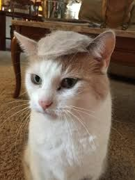 Great image of this Donald Trump haired cat! Donald Trump Hair, Cat Memes, Squirrel, Animal Pictures, Cats, Animals, Image, Google Search, Gatos
