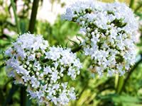 ∆ Valerian Essential Oil...  is recommended for insomnia, sleep challenges, nervous indigestion, migraine, and nervous tension and restlessness. Externally, Valerian has been used for skin complaints, such as ulcers, eczema and minor sores and (closed) wounds. In Europe, Valerian essential oil has been used for cholera, epilepsy, and various skin complaints.