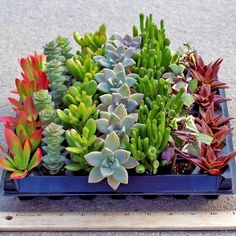 42 plants, assorted in rows of 6, 7 different types per tray. We select for texture, color and variety. Each row is labeled with plant name. Free Shipping $75+