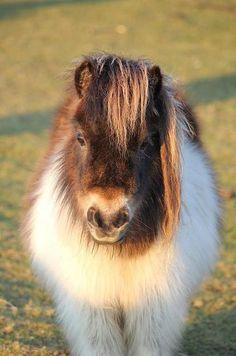 Winter coat on a Shetland pony. It's so Fluffy! Poney Miniature, Miniature Ponies, All The Pretty Horses, Beautiful Horses, Animals Beautiful, Cute Baby Animals, Animals And Pets, Funny Animals, Funny Horses