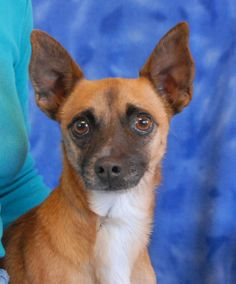 Ninja puts up a tough, warrior-like front at times to protect his sensitive feelings and avoid any further abuse and cruelty.  He is particularly terrified of men.  But you know he trusts you when he crawls into your lap for a tummy rub.  Ninja is an exceptionally handsome Chihuahua mix, about 5 years of age, neutered boy, debuting for adoption today at Nevada SPCA (www.nevadaspca.org).  He is good with other dogs and reportedly housetrained.  Please help us find him a loving, forever home.