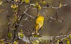 A Yellow Warbler sits in the afternoon sun alongside a Utah river.