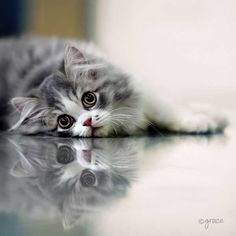 Reflection Photography - For those looking for some reflection photography inspiration, here are a few examples to give you a little inspira. Reflection Photography, Cat Photography, Cute Cats And Kittens, Kittens Cutest, National Geographic Photo Contest, Kitten Food, Kitten Rescue, Cat Makeup, Feral Cats