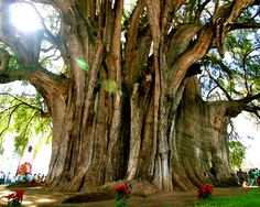 The Tule Tree, or El Árbol del Tule, is a Montezuma cypress tree on the grounds of a church in Santa María del Tule in the Mexican state of Oaxaca. It measures more than 119 feet around but is only 116 feet high (To put that in perspective, the General Sherman is 275 feet high and 102 feet around). It's believed that the tree is about 2,000 years old. Local legend holds that the tree was planted 1,400 years ago by a priest of the Aztec storm god.