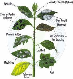 This picture describes the graphic detail of plant Leaves diseases:      White flies     Aphids     Spots     Grey Mould     Powdery Mildew     Leaf Fall     Leaf Bronzing     Rust     Mealy Bug     Yellowing of Leaves