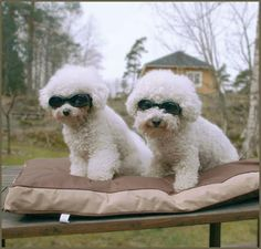 Cool - bichons in shades