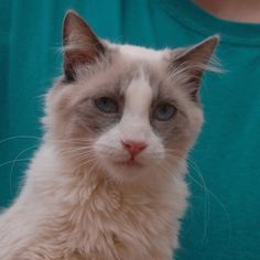 Aiden's favorite activities include chasing crumpled paper balls, grooming his feline friends, and purring when you pick him up. He is a very handsome Ragdoll junior kitten, 8 months of age and neutered, debuting for adoption today at Nevada SPCA (www.nevadaspca.org). Aiden likes dogs and mature kids too. He needed us when his previous owners moved away without him.