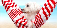 Pet dog relaxing in a soft red and white hammock by the beach Poster. Animals Beautiful, Cute Animals, Beach Posters, Pet Dogs, Pets, Summer Dog, Dog Photography, Mammals, Puppy Love