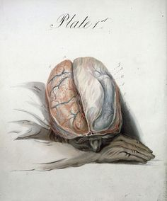 Watercolour of the Brain by Sir Charles Bell - Plate 1, 1823  #anatomy #watercolor #brain