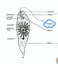 Spin Touch Euglena Diagram - Trusted Wiring Diagram •