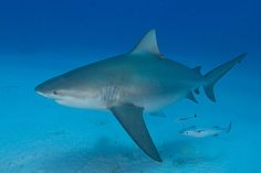 No joke—this angler dove overboard and saved a 300 lb. bull shark. Brave, dumb, or both?