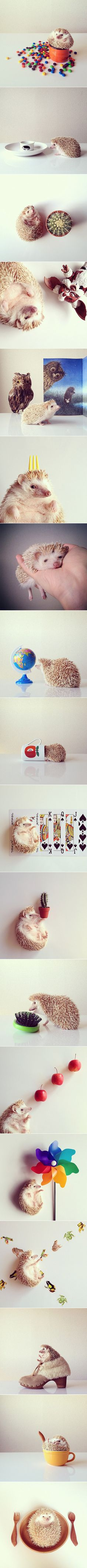 """Tokyo-based Instagrammer Shota Tsukamoto proudly snaps shots of his pet hedgehog named Darcy (best known as @darcytheflyinghedgehog), arguably the cutest little hedgehog in the whole world! The spiky little girl is the epitome of """"aww-worthy"""" as she comfortably sits in a shoe, lounges on a deck of cards, curiously investigates a prickly brush her size, and takes a nap in the palm of her owner's hand."""