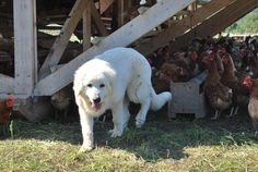 Livestock Guard Dog Training Manual $20