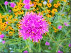 How To Grow Gomphrena Fireworks; The Best Sustainable Annual Flower