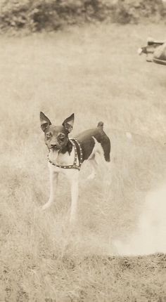 Rat Terrier Vintage Dog Photo Big Ears by SunshineVintagePhoto