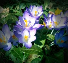 Purple spring crocus pops up in Boise...