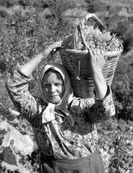 Τρύγος στη Ραψάνη 1971 Φωτογραφία:Τάκης Τλούπας