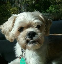 Welcome to STFBR rescue homepage - Shih Tzus & Furbabies Pet Finder, Toy Dog Breeds, Shih Tzus, Animal Rescue, Fur Babies, Dogs, Animals, Animales, Animaux