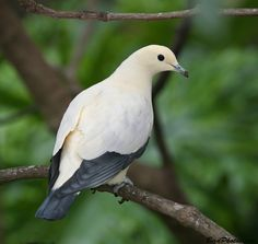 Pied Imperial Pigeon (Ducula bicolor) found in Southeast Asia, New Guinea, Philippines and Australia