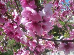 Peach tree in full blooms - National Geographic Your Shot