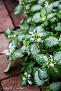 variegated lamium