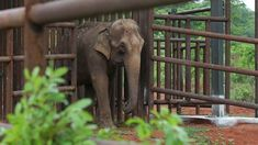 Asian elephant Guida walks into her new living space, the first elephant sanctuary in Latin America in Chapada dos Guimaraes, Brazil