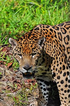 Jaguar Exotic Animals, Nature Animals, Exotic Pets, Amphibians, Mammals, Adorable Animals, Animals Beautiful, All Types Of Cats, Cat Species