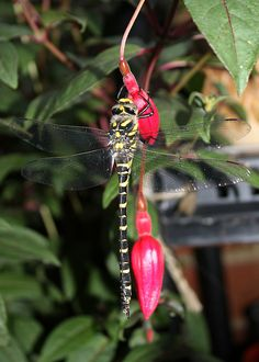 Golden-ringed dragonfly by slideshow bob, via Flickr