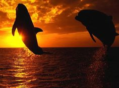 Deux dauphins qui sautent en contre jour couché de soleil