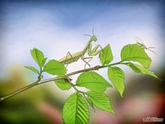 Take Care of a Praying Mantis Step 1