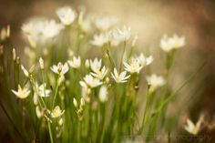 nature photography flower photograph spring wall by eireanneilis, $28.00