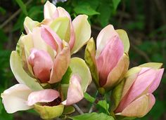 Magnolia 'Woodsman' An exceptionally hardy Joe McDaniel hybrid producing most unusually colored, beautiful blossoms in late spring after d. Flor Magnolia, Yellow Magnolia, Magnolia Trees, Magnolia Flower, Exotic Flowers, Tropical Flowers, Pink Flowers, Beautiful Flowers, Trees And Shrubs