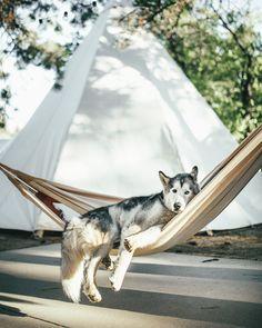 Loki - Loki The Wolfdog enjoying his down time in Hualapai Mountain Park, Arizona.