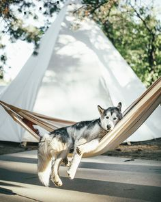 Loki - Loki The Wolfdog enjoying his down time in Hualapai Mountain Park, Arizona.