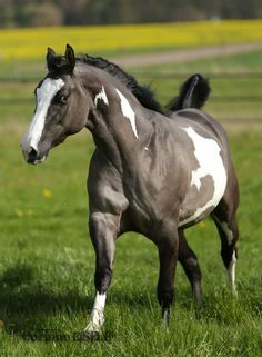 Beautiful pinto horse running through a field of lush green grass. Grey and white horse. Such unique markings.