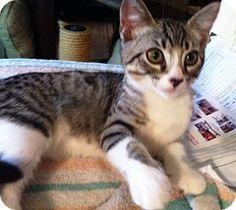 Long Beach, CA - Domestic Shorthair. Meet Karisha, a kitten for adoption. http://www.adoptapet.com/pet/13260824-long-beach-california-kitten