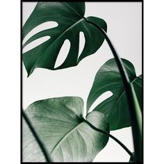 13 tips to care for your Monstera and make it grow. You will find the ideal way of taking care for your Monstera: light, temperature, humidity, water.