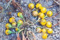Image result for mandragora turcomanica