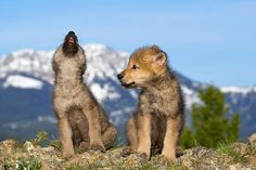 Gray Wolf Pups--Gerard Lopez Photo