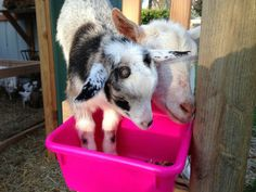 Nigerian Goat Feed Recipe