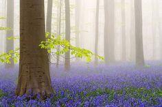 Floresta Azul! Fica na Bélgica e se chama Hallerbos!!!