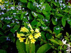 Yellow Primula veris with sky blue Brunnera macrophylla; Carolyn Walker at Carolyn's Shade Gardens
